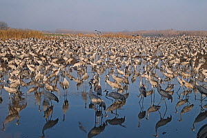 Common cranes (Grus grus), wintering at the Hula Lake Park, Hula Valley Northern Israel. Farmers spread 8 tons of Maize a day on to the marsh to keep the cranes from damaging their crops in the surrou... - David Tipling