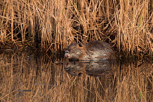 Coypu (Myocastor coypus) Hula, Northern Israel, January. Introduced species. - David Tipling