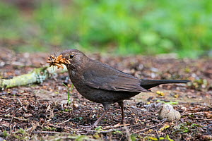 Blackbird (Turdus merula) female collecting mealworms for young at nest in garden Norfolk, England, UK.  -  David Tipling