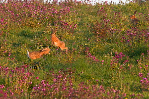Brown hare (Lepus europaeus) boxing in spring North Norfolk, England, UK. May.  -  David Tipling