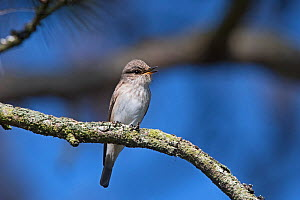 Spotted flycatcher (Muscicapa striata) in song North Norfolk, England, UK. May  -  David Tipling