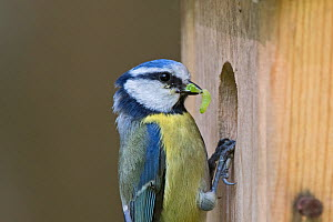 Blue tit (Cyanistes caeruleus) at nest box Kettlestone Norfolk, England, UK.  -  David Tipling