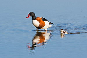 Common shelduck (Tadorna tadorna) escorts a straggling chick across the scrape, Cley Norfolk, England, UK.  -  David Tipling