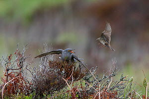 Common cuckoo (Cuculus canorus) mobbed by Meadow pipits (Anthus pratensis) Caithness Scotland May  -  David Tipling