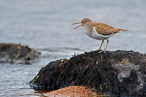 Common sandpiper (Actitis hypoleucos) calling from boulder in river, Caithness, Scotland, UK. May.  -  David Tipling