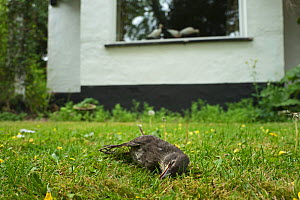 Starling (Sturnus vulgaris) juvenile killed after it flew into window, Norfolk, England, UK. May.  -  David Tipling