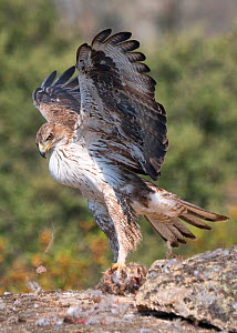 Bonelli's eagle (Aquila fasciata) male feeding, Arribes del Duero Natural Park (Parque Natural de Arribes del Duero) ,Spain, June  -  David Tipling