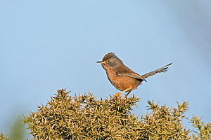 Dartford warbler (Sylvia undata) female, North Norfolk, England, UK. March  -  David Tipling