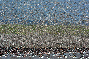 Waders, Oystercatchers (Haematopus ostralegus) and Red knot (Calidris canutus) out on the Wash, massing together as the tide pushes in prior to high tide and roosting, Snettisham Norfolk, England, UK.... - David Tipling