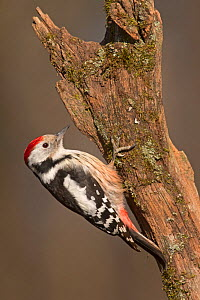 Middle Spotted Woodpecker (Leiopicus medius) Hortobagy National Park, Hungary January  -  David Tipling