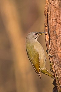 Grey-headed woodpecker (Picus canus) female Hortobagy National Park, Hungary January  -  David Tipling
