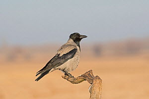 Hooded crow (Corvus cornix) Hortobagy National Park, Hungary January  -  David Tipling