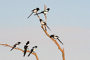 Eurasian magpies (Pica pica) gathering prior to going to roost Hortobagy National Park, Hungary January  -  David Tipling