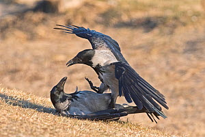 Hooded crow (Corvus cornix) fighting Hortobagy National Park, Hungary January  -  David Tipling
