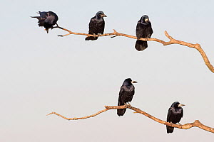 Rooks (Corvus frugilegus) five adults perched, Hortobagy National Park, Hungary January  -  David Tipling