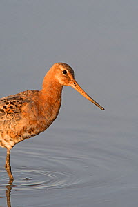 Black-tailed godwit (Limosa limosa) starting to moult out of breeding plumage TItchwell RSPB Reserve, Norfolk, England, UK. August - David Tipling
