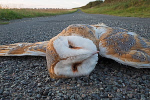 Dead Barn owl (Tyto alba) on road, killed by car on country lane North Norfolk, England, UK. August. - David Tipling
