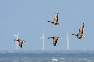 Pink-footed geese (Anser brachyrhynchus) flying against strong northerly wind off Salthouse North Norfolk, wind turbines in sea in background, England, UK. November - David Tipling