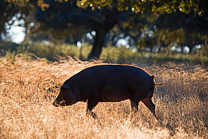 Black Iberian Pig in Dehesa woodland feeding on acorns, Extremadura, Spain. December  -  David Tipling