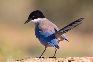 Iberian magpie (Cyanopica cooki) Extremadura, Spain. December - David Tipling