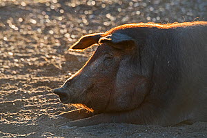 Black Iberian pig resting in Dehesa woodland where they feed on acorns, Extremadura, Spain. December  -  David Tipling