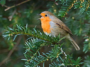 Robin (Erithacus rubecula) in song perched in Yew tree in churchyard, Suffolk, England, UK. February  -  David Tipling