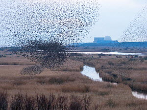 Starlings (Sturnus vulgaris) murmuration of 40,000 starlings come into roost at Minsmere RSPB Reserve Suffolk, England, UK. February  -  David Tipling