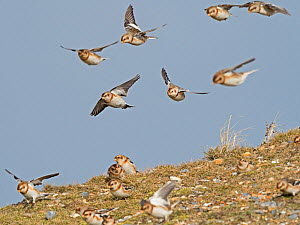 Snow buntings (Plectrophenax nivalis) Salthouse North Norfolk, England, UK. February. - David Tipling
