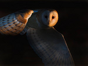 Barn owl(Tyto alba) flying, North Norfolk, England, UK. february  -  David Tipling