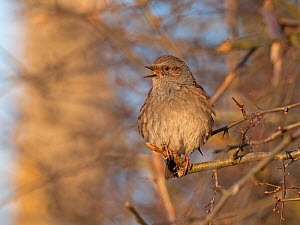 Dunnock (Prunella modularis) in song North Norfolk, England, UK. February  -  David Tipling