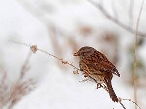 Dunnock (Prunella modularis) feeding on grass seeds in snow, Norfolk, England, UK. February  -  David Tipling