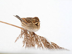 Reed bunting (Emberiza schoeniclus) feeding in snow covered reedbed North Norfolk, England, UK. February  -  David Tipling