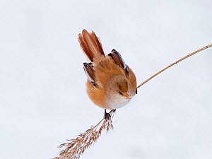 Bearded tit (Panurus biarmicus) female feeding on reed seeds in reed bed, North Norfolk, England, UK. in snow February  -  David Tipling