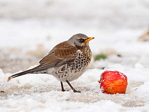 Fieldfare (Turdus pilaris) in garden in freezing weather with snow on the ground, Norfolk, England, UK. February  -  David Tipling