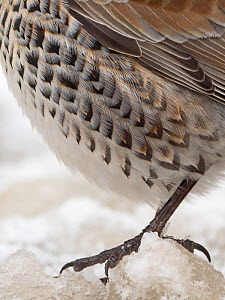 Close up of plumage detail of Fieldfare (Turdus pilaris) in garden in freezing weather with snow on the ground Norfolk, England, UK. February  -  David Tipling