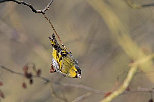 Eurasian siskin (Spinus spinus) male feeding on Alder, Minsmere, Suffolk, England, UK, March.  -  David Tipling