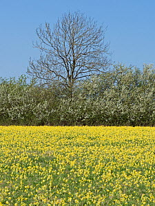 Mass of Cowslips (Primula veris) flowering in hay meadow North Norfolk, England, UK. May  -  David Tipling