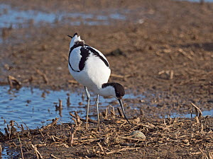 Pied avocet (Recurvirostra avosetta) caring for first egg laid of a clutch of four, North Norfolk, England, UK. May  -  David Tipling