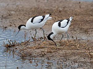 Pied avocet (Recurvirostra avosetta) with first egg laid of a clutch of four, North Norfolk, England, UK. May  -  David Tipling