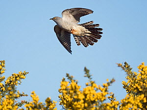 Common cuckoo (Cuculus canorus) male in flight, Peak District, England, UK. May.  -  David Tipling