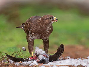 Common buzzard (Buteo buteo) feeding on Wood pigeon (Columba palumbus) North Norfolk, England, UK. May - David Tipling