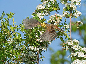 Yellowhammer (Emberiza citrinella) male in flight past hawthorn blossom, North Norfolk, England, UK. May - David Tipling