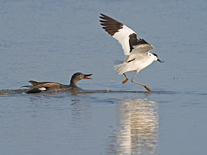 Pied avocet (Recurvirostra avosetta) adult leading away a Gadwall (Anas strepera) from its nest North Norfolk, England, UK. May  -  David Tipling