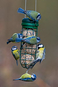 Five  Blue tits (Cyanistes caeruleuss) and one Grat tit (Parus major) feeding on fat ball feeder in garden Norfolk, England, UK. February.  -  David Tipling