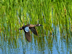 Blue-winged teal (Anas discors) male, Viera Wetlands, Florida, USA. March.  -  David Tipling