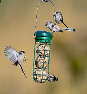 Long-tailed tits (Aegithalos caudatus) on fat ball feeder in garden Norfolk, England, UK. February. - David Tipling