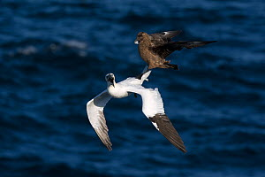 Great skua (Stercorarius skua) attacking Gannet (Morus bassanus) on route back to its colony, to make it disgorge fish, behaviour known as Kleptoparasitism (parasitism by theft) Hermaness, Unst, Shetl... - David Tipling