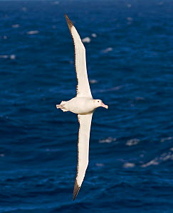 Wandering albatross (Diomedea exulans) Southern Ocean near South Georgia, November - David Tipling