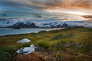 Wandering albatross (Diomeda exulans) incubating egg on nest on Albatross Island, Bay of Isles, South Georgia.  -  David Tipling