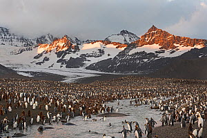 Dawn at King penguin (Aptenodytes patagonicus) rookery, St Andrews Bay, South Georgia - David Tipling